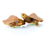 Baby turtles. Image of two baby Common Map Turtles against white background Stock Photo