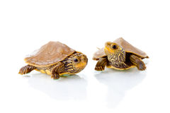 Baby turtles. Image of two baby Common Map Turtles against white background Stock Image