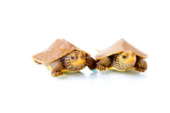 Baby turtles. Image of two baby Common Map Turtles against white background Royalty Free Stock Photos