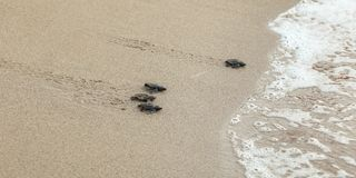 Baby turtles, just hatched from eggs, walking on sand trying to get into sea royalty free stock images