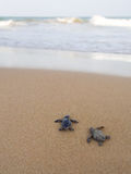 Baby turtles making its way to the ocean Royalty Free Stock Photo