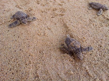 Baby turtles making it's way to the ocean Royalty Free Stock Photo