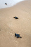Baby turtles making it's way to the ocean Royalty Free Stock Images