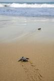 Baby turtles making it's way to the ocean Royalty Free Stock Image
