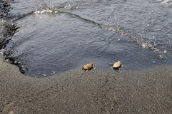 Baby Turtles meat wave Royalty Free Stock Photography