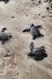 Baby turtles. Newborn golfina turtles on their way to the ocean stock images