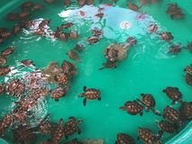 Baby Turtles, Tranquility Island, Efate, Vanuatu. Baby Turtles Nursery, Tranquility Island, Efate, Vanuatu royalty free stock image