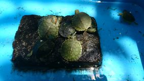 Baby turtles in rescue farm. Baby turtles sm farm free animal bali  indonesia rescue aisa asia green blue royalty free stock images