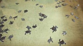 Baby turtles swimming in pool at Kosgoda Lagoon Turtle hatchery stock video