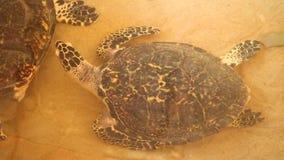 Baby turtles swimming in pool at Kosgoda Lagoon Turtle hatchery stock video footage
