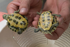 Baby Turtles. Two baby painted turtles in Florida stock images