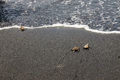 Baby turtles walk to ocean after hatching Royalty Free Stock Images