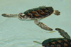 Baby turtles Royalty Free Stock Images