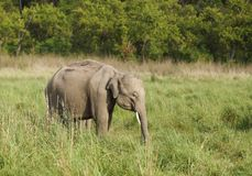 A baby tusker in the Dhikala grassland Stock Photography