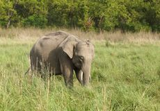 A baby tusker grazing grass Royalty Free Stock Image