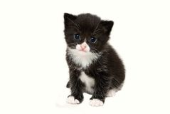 Baby tuxedo kitten Royalty Free Stock Photos