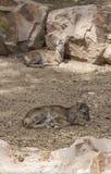 Baby twee die moufflon op grond rusten Royalty-vrije Stock Fotografie