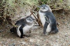 Baby twee pinguins Royalty-vrije Stock Foto's