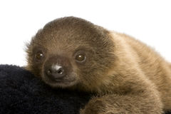 Baby Two-toed sloth (4 months) Royalty Free Stock Image