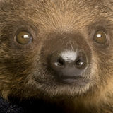 Baby Two-toed sloth (4 months) - Choloepus didacty Stock Photography