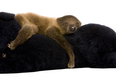 Baby Two-toed sloth - Choloepus didactylus Stock Images