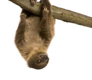 Baby Two-toed sloth - Choloepus didactylus Royalty Free Stock Images