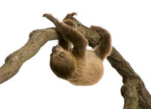 Baby Two-toed sloth - Choloepus didactylus Stock Image