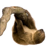 Baby Two-toed sloth - Choloepus didactylus