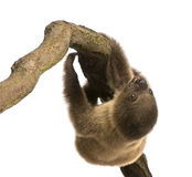 Baby Two-toed sloth - Choloepus didactylus Royalty Free Stock Photo