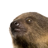 Baby Two-toed sloth - Choloepus didactylus Royalty Free Stock Image