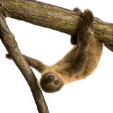 Baby Two-toed sloth - Choloepus didactylus Stock Photo