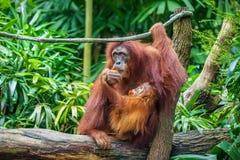 Baby-und Mutter Orang-Utan, der Früchte isst Stockbild