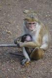 Baby- und Mutteraffe in Sri Lanka Stockbilder
