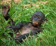 Baby van Bonobo die op het gras liggen Democratische Republiek de Kongo Het Nationale Park van Lola Ya BONOBO Stock Afbeelding