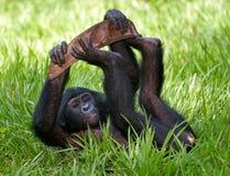 Baby van Bonobo die op het gras liggen Democratische Republiek de Kongo Het Nationale Park van Lola Ya BONOBO Royalty-vrije Stock Fotografie