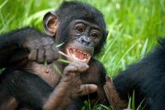 Baby van Bonobo die op het gras liggen Democratische Republiek de Kongo Het Nationale Park van Lola Ya BONOBO Stock Afbeeldingen