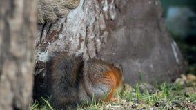 Baby van eekhoorn stock videobeelden