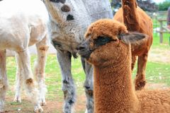 Baby van lama Royalty-vrije Stock Afbeelding