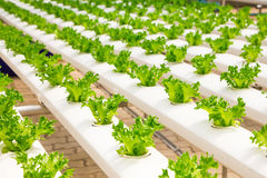 Baby vegetables growing. In greenhouse Stock Photos