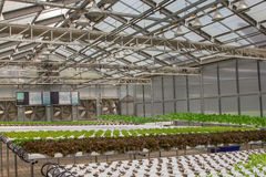 Baby vegetables growing in greenhouses. Baby vegetables growing in greenhouse farm Royalty Free Stock Image