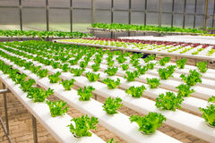 Baby vegetables growing in greenhouses. Baby vegetables growing in greenhouse farm Royalty Free Stock Photography