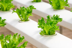 Baby vegetables growing in greenhouses. Baby vegetables growing in greenhouse farm Stock Photos