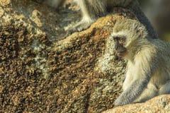 Baby vervet Affe, der auf einem Felsen sitzt Lizenzfreie Stockfotografie