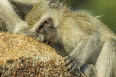 Baby vervet Affe, der auf Zecken überprüft wird Lizenzfreie Stockfotos