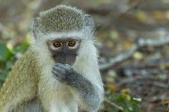 Baby vervet Affe, der in die Kamera anstarrt Stockfotografie
