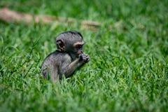 Baby vervet Affe, der in der grasartigen Wiese isst Lizenzfreie Stockbilder