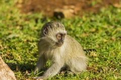 Baby vervet Affe, der im Gras herumsucht Stockbild