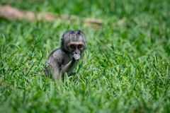 Baby vervet Affe, der Kamera im Gras gegenüberstellt Lizenzfreie Stockfotografie