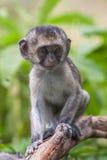 Baby vervet Affe, der Niederlassung, Addo Elephant National Park leckt und hält Stockbild