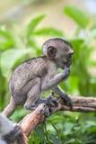 Baby vervet Affe, der Niederlassung, Addo Elephant National Park leckt und hält Lizenzfreies Stockbild